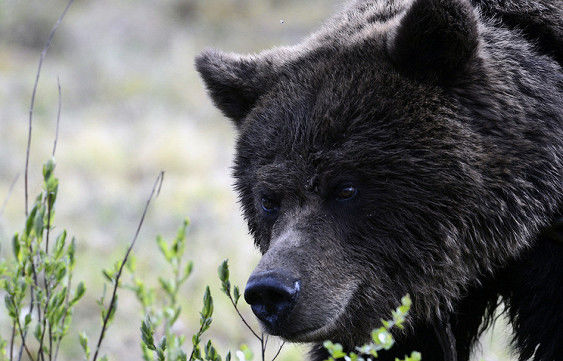 Грибник врукопашную избил напавшего нанего медведя наУрале
